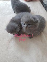 BKH Kitten Scottish Fold Kitten