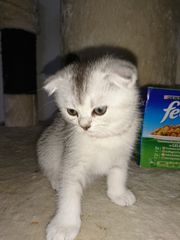 Scottish fold Kitten in silber