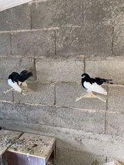 ein paar Tauben Zum Verkauf