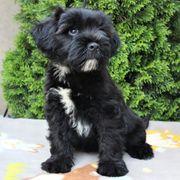 Tibet Terrier Rüde 14 Wo