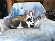 Husky super welpen cuvh