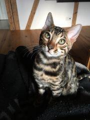 Bengal Kitten Kater Freddy mit