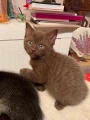 Bkh Kitten Katze