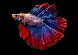 Kampffisch mit Aquarium