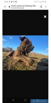 Schäferhund American Bulldog Mischling