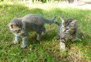 Katzenbabys Kätzchen Kitten Maikatzen