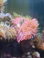 kupferanemone anemonen crassa minianemonen