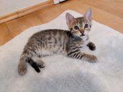 Bengal Siam Mix Kitten 4