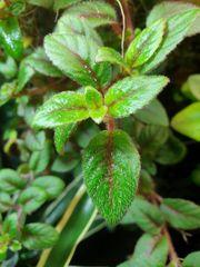 Paradrynomaia spec Surinam Regenwald Terrarium