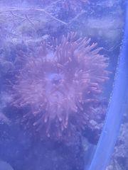 Kupferanemone groß