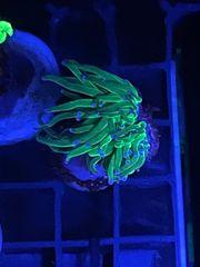 Euphyllia glabrescens Ultra Meerwasser Koralle