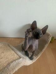 Canadian Sphynx Nacktkatze Kitten