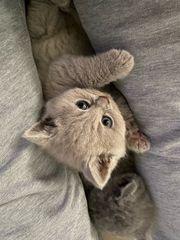 BKH - Kätzchen aus Bonn