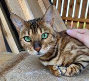 sehr schöne bengal kitten Katze