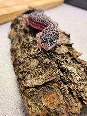Leopardgecko NZ20
