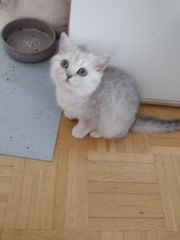 Süßes BKH Kitten Mädchen in