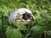Griechische Landschildkrötenbabys Nachzucht 2020