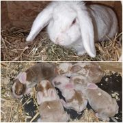 5 Mini Lop Zwergwidder Kaninchen