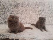 BKH Scotische Fold Kitten