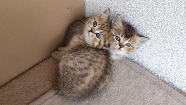 BKH Kitten Babys
