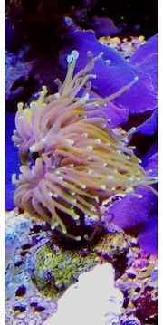 Ableger Euphyllia Indo Golden Torch