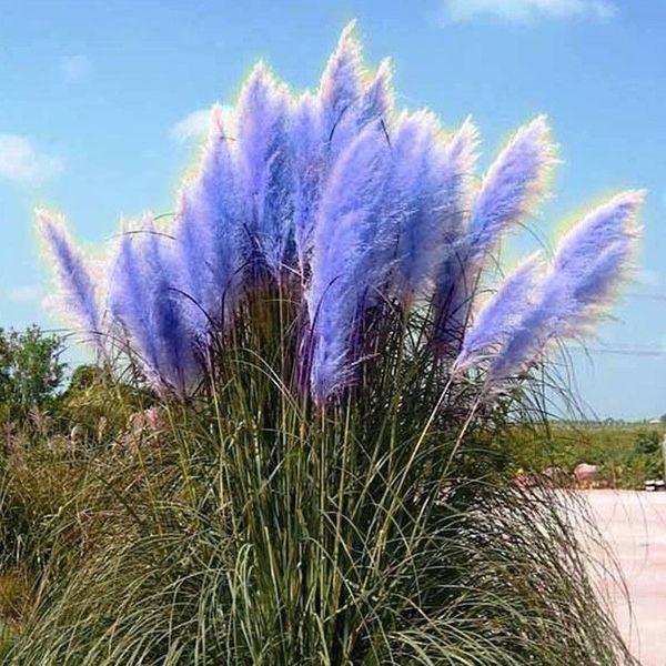 Samen vom Pampasgras blau zu