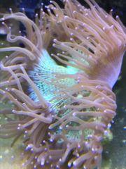 Meerwasser Wunderkoralle Ableger