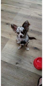 Deckrüde Langhaar Chihuahua