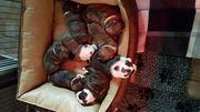 Englische Bulldoggen welpen aus verantwortungsvoller