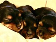 5 Yorkshire Terrier 4 Jungs