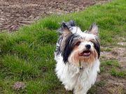 Biewer Yorkshire Terrier Deckrüde z