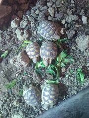 Breitrandschildkröte Nachzuchten 2020