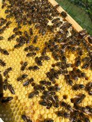 Bienen Königin Carnica Weisel Gesundheitszeugnis