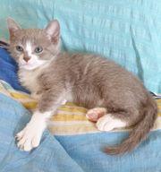 Ukrainian Levkoy Kitten