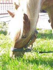 Pflegebeteiligung Pferd sucht Mädchen