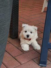 West-Highland-Terrier Welpen