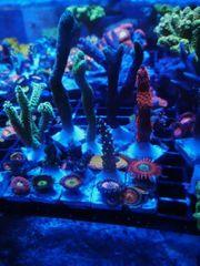 Korallen Paket 23 Ableger