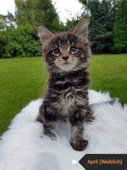 Maine Coon Kitten mit excellenten