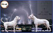 Dogo Argentino Wurfankündigung