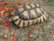 Landschildkröte Testudo marginata