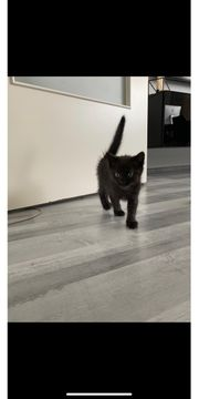 Schwarzes Babykätzchen Katze Babykatze abzugeben
