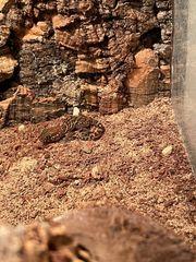 Paroedura Picta Madagaskar Großkopfgeckos