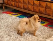 Pomeranian mit FCI