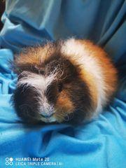 CH-Teddy Meerschweinchen Jungtiere Buben
