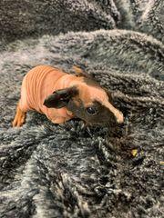 weibliches Skinny Pig Meerschweinchen Ende