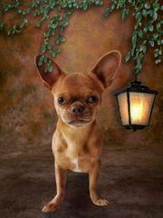 Gesunder Exzellenter Chihuahua Rüde 1