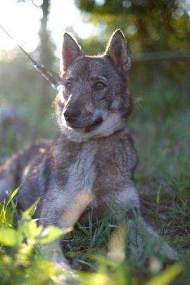 WOLFINKA - kinderlieb möchte ihr Zuhause: Kleinanzeigen aus Rabenau - Rubrik Hunde
