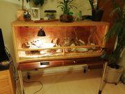 Kornnatter ca 1 35 cm
