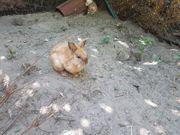 Junge Kaninchen Männchen abzugeben
