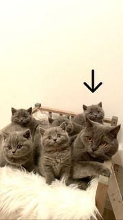 Verkaufe reinrassige Bkh kitten 1